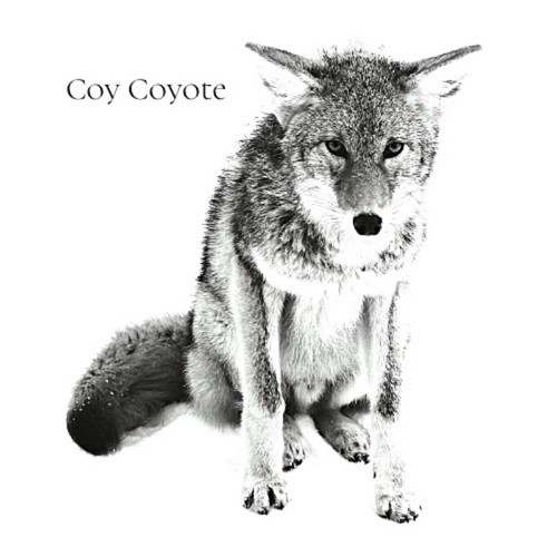 Small coy coyote image